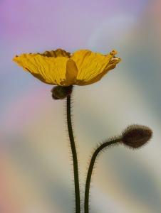 poppy-2310189_960_720